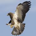 IP Hawk picture